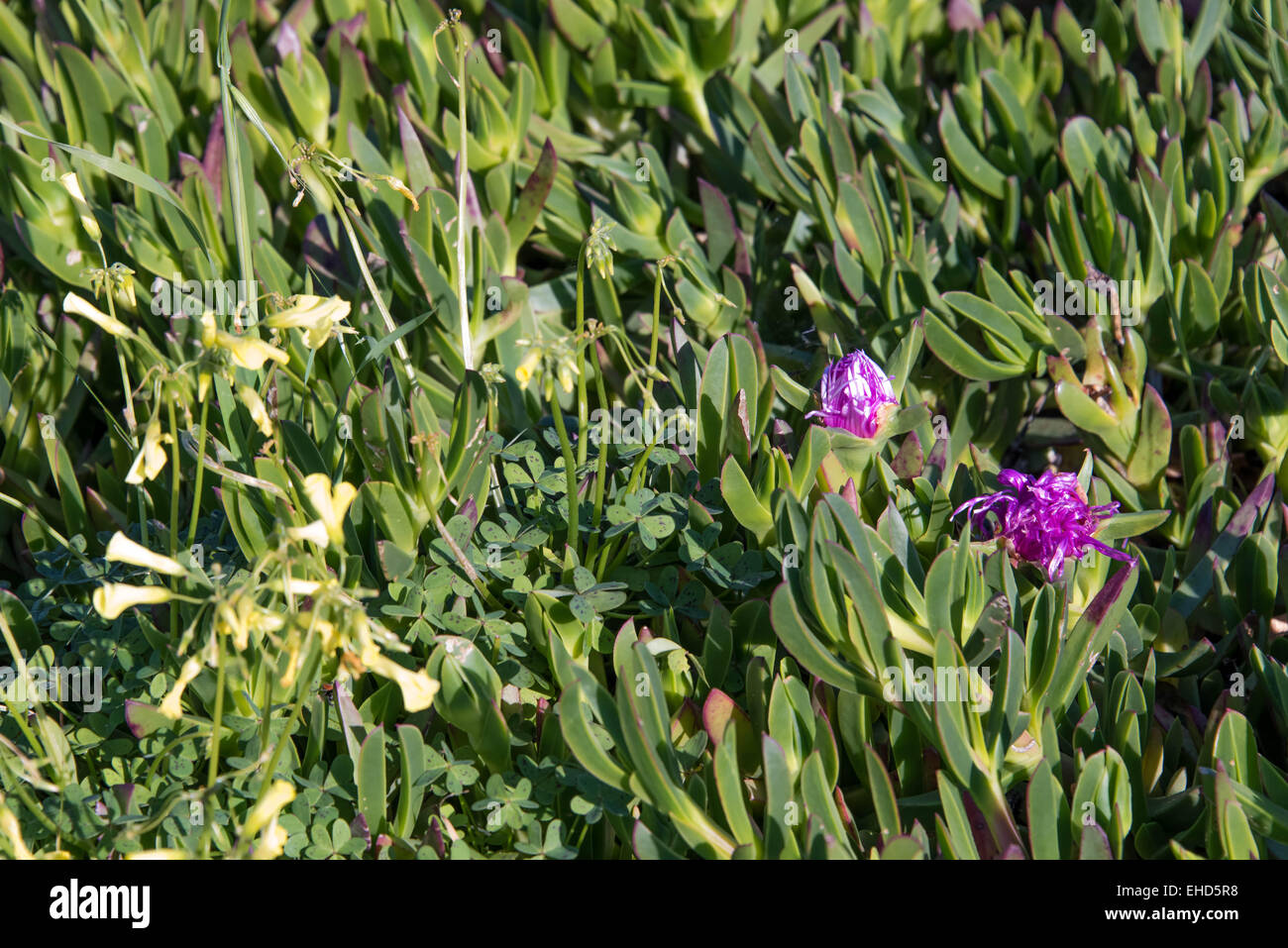 Purple Flowering Aloe Vera Plants And Yellow Wild Flowers Stock