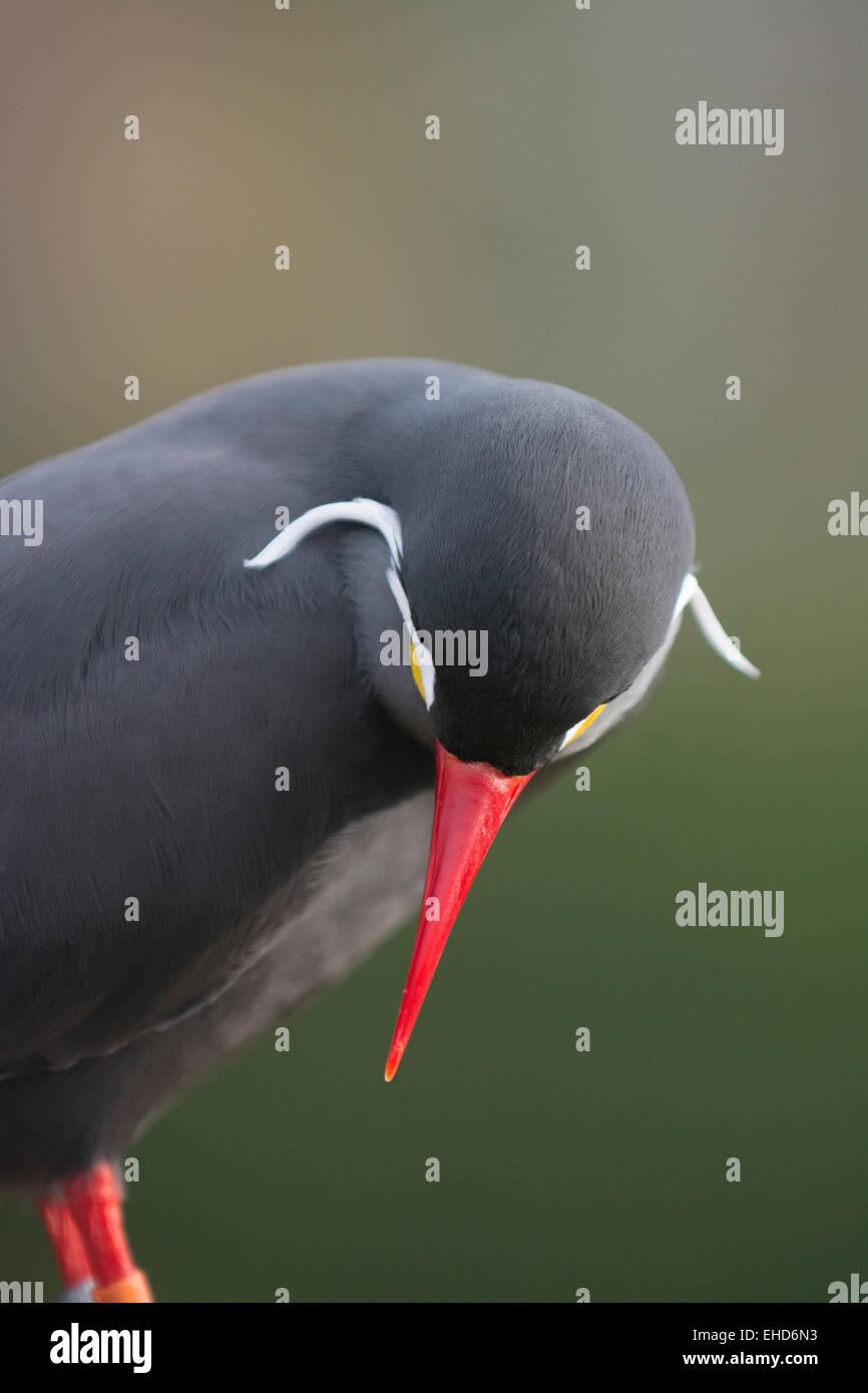 Inca tern (Larosterna inca). Stock Photo