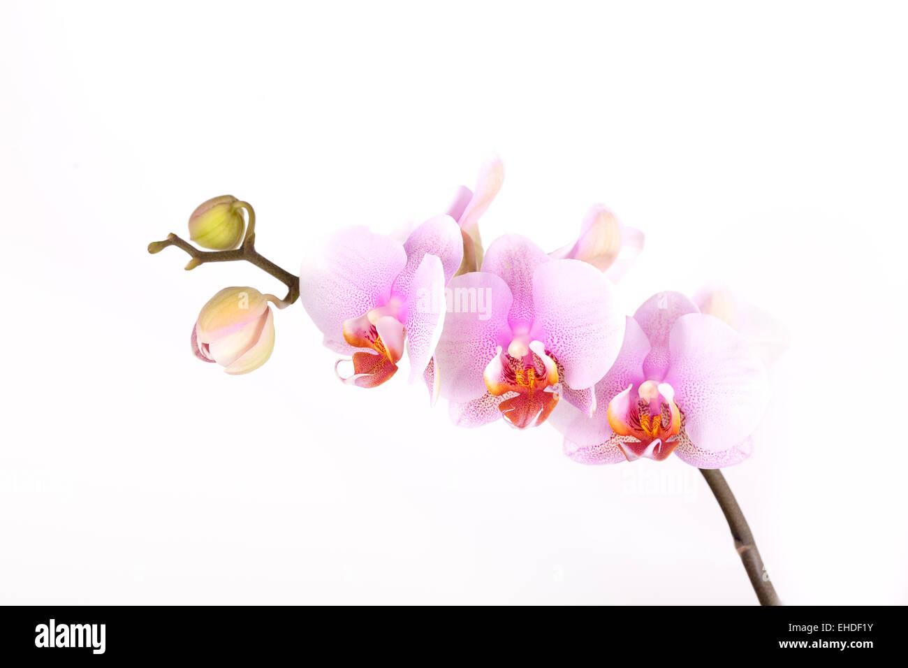 Rosa Orchidee - Stock Image