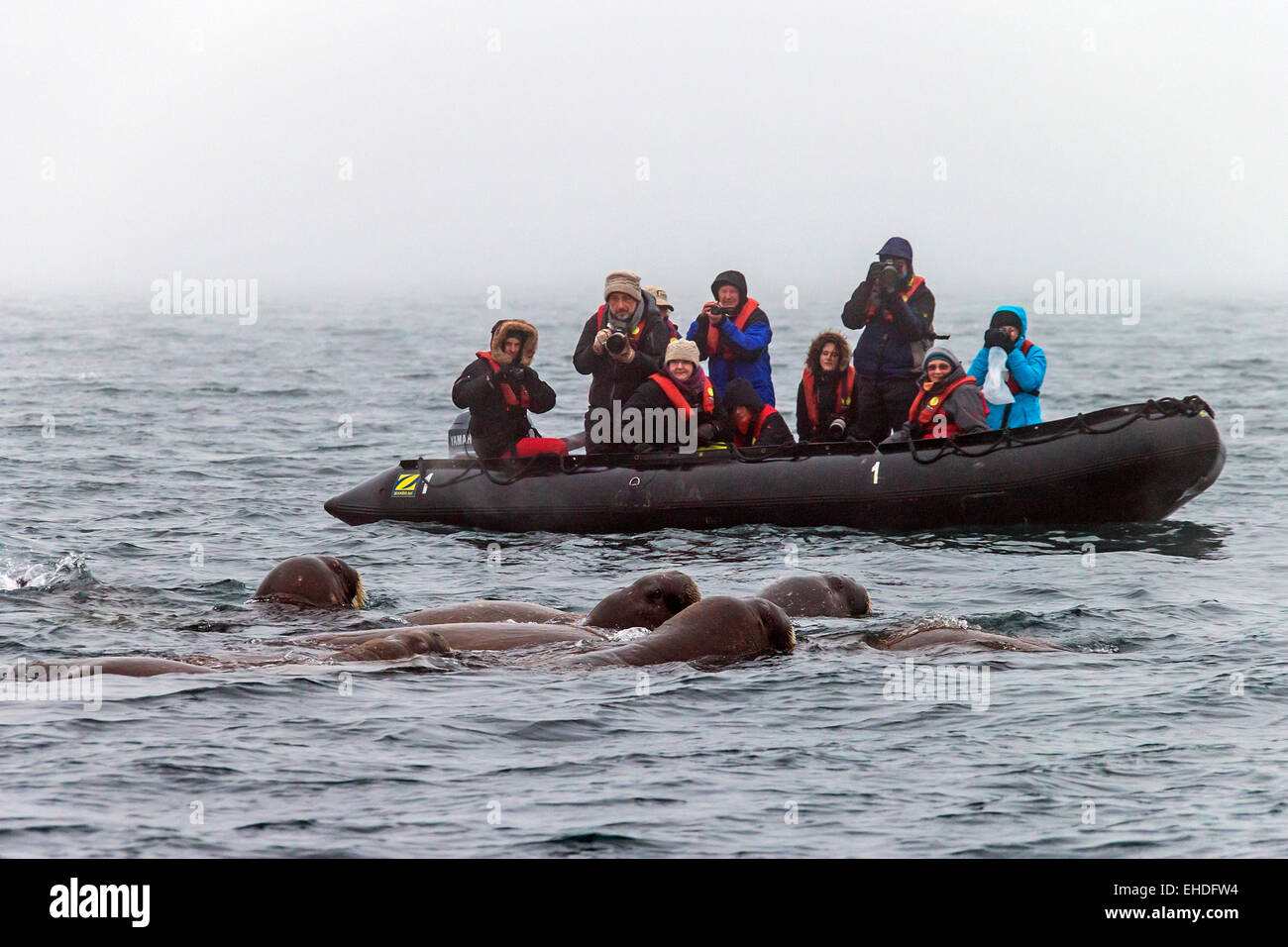 Tourists in inflatable boat watching and photographing group of walruses (Odobenus rosmarus) swimming in the Arctic - Stock Image