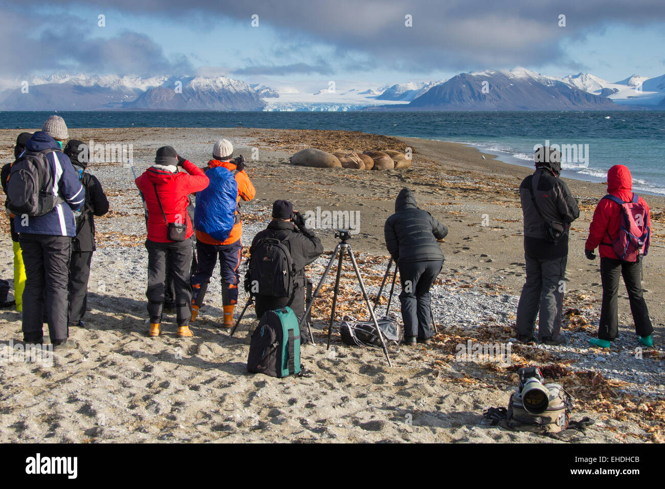Tourists photographing a group of walruses (Odobenus rosmarus) on the beach along the Arctic ocean coast, Svalbard, - Stock Image