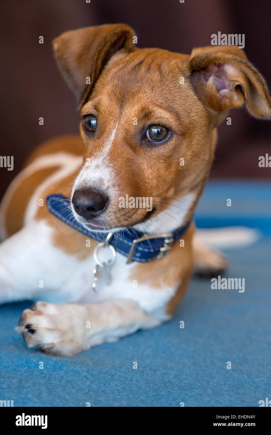 Mixed breed puppy laying on a blue blanket - Stock Image