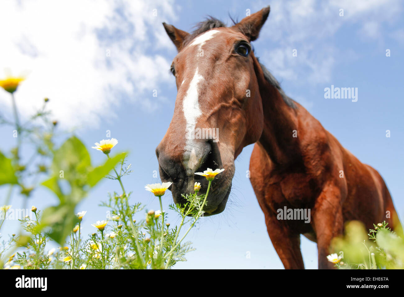 Borwn horse grazing at flowers viewed from below - Stock Image