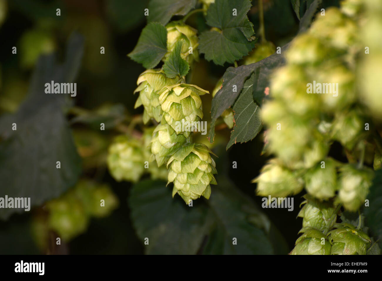Flowers of the hops plant, Humulus lupulus, growing near Nelson, New Zealand - Stock Image