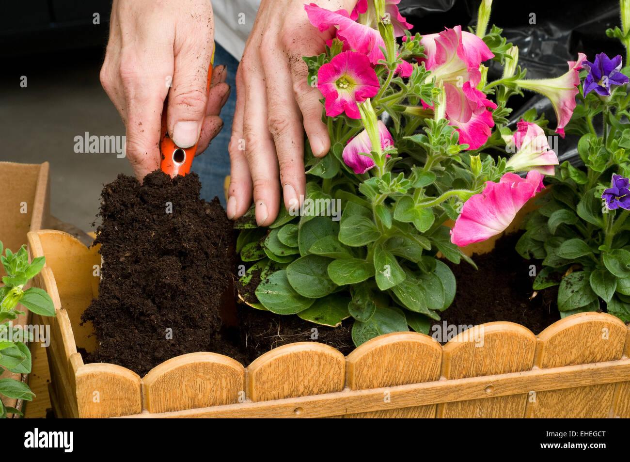 Balkonbepflanzung Planting Petunias Stock Photo 79610856 Alamy