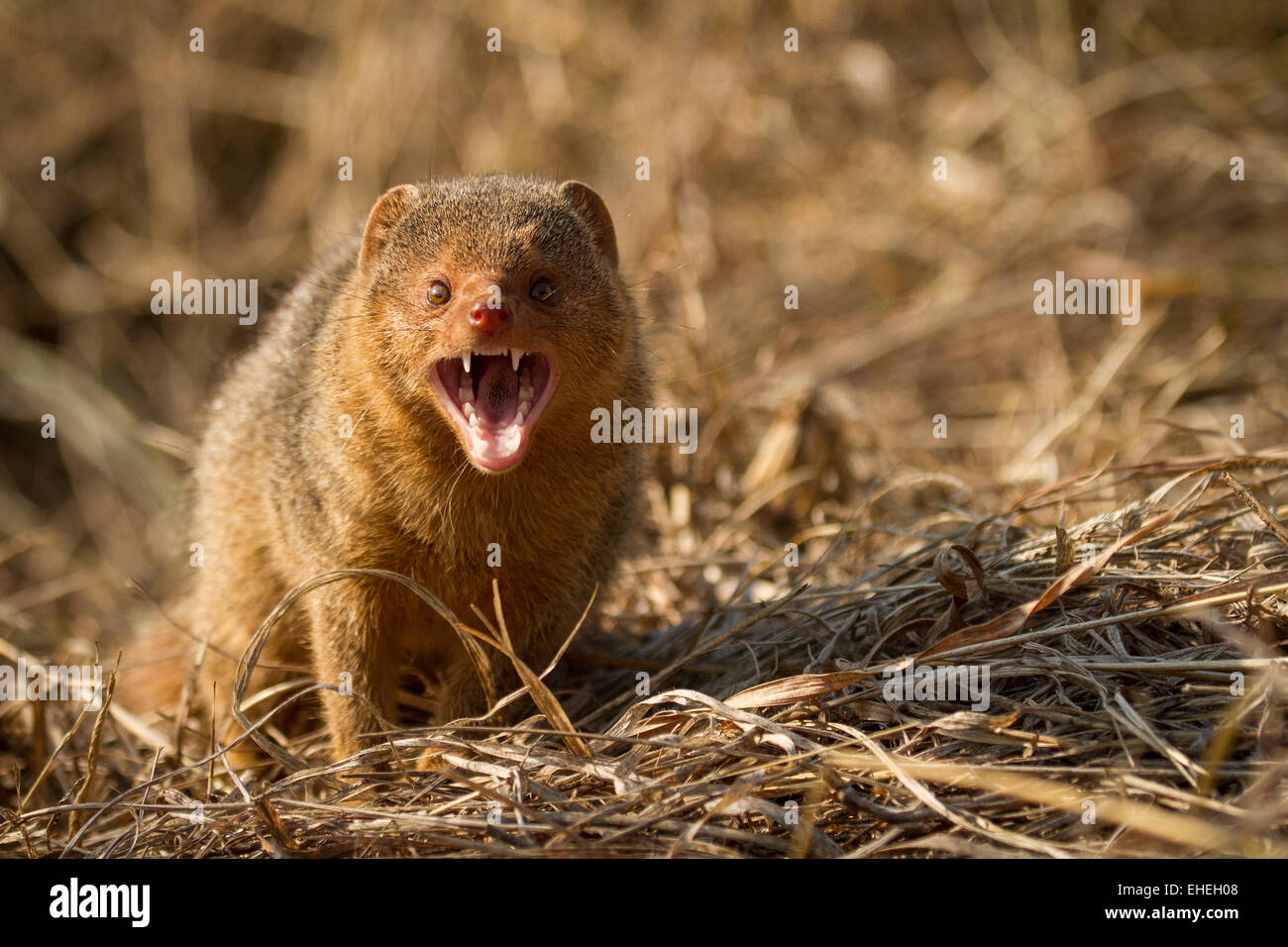 Common dwarf mongoose (Helogale parvula) snarling - Stock Image