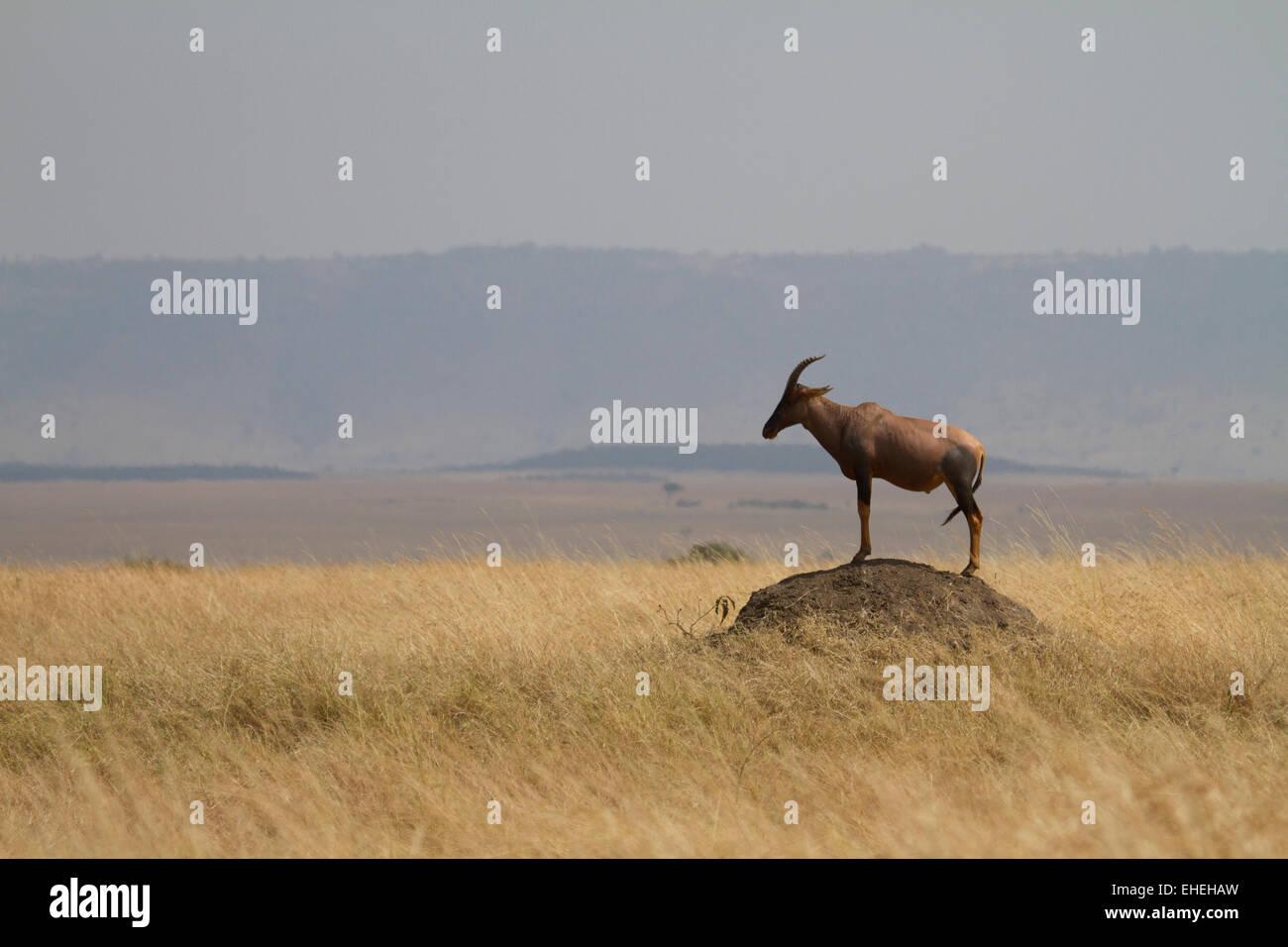 Topi (Damaliscus korrigum) standing on a termite mound - Stock Image