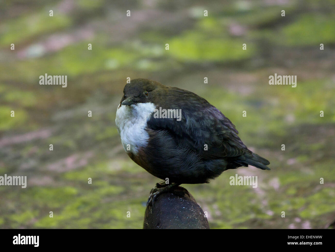 A dipper perches above a stream - Stock Image