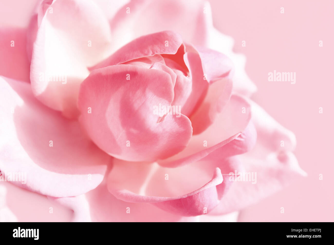 gentle pink rose - Stock Image