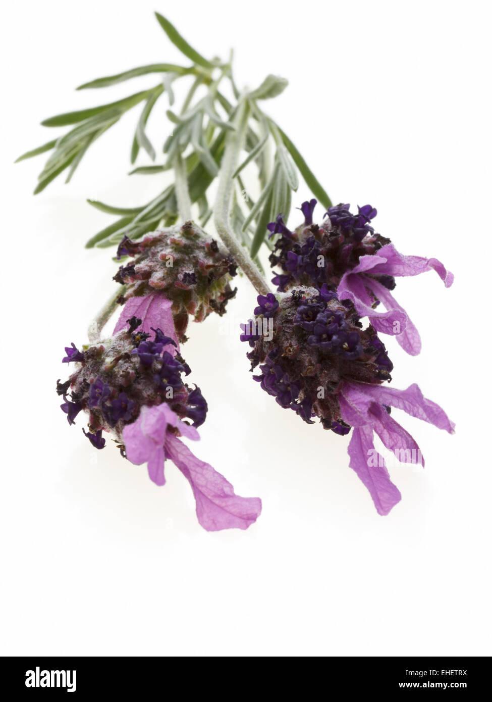 Isolated fresh Lavender - Stock Image