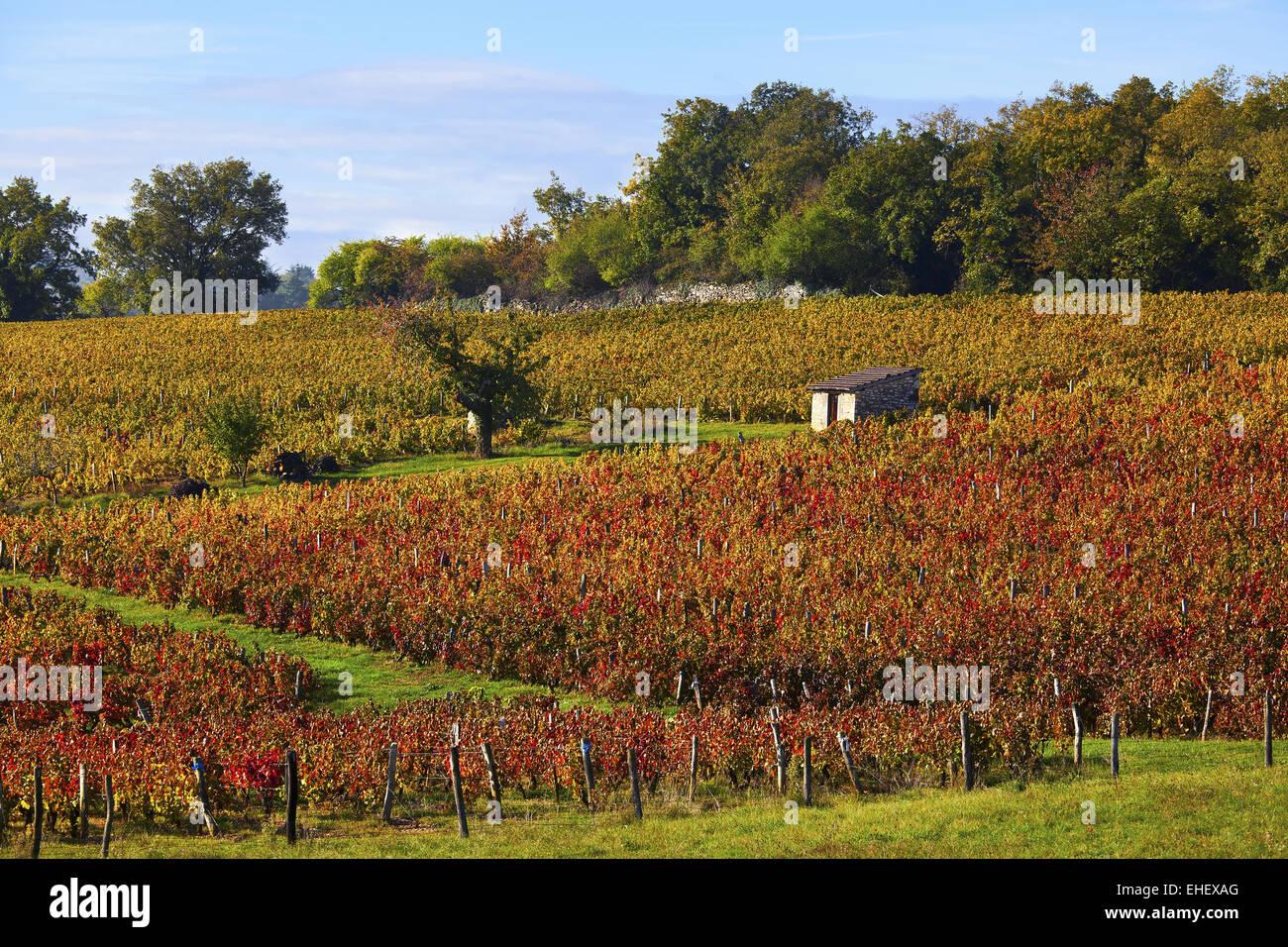 Beaujolais vineyards, Pommiers, Rhone, France - Stock Image