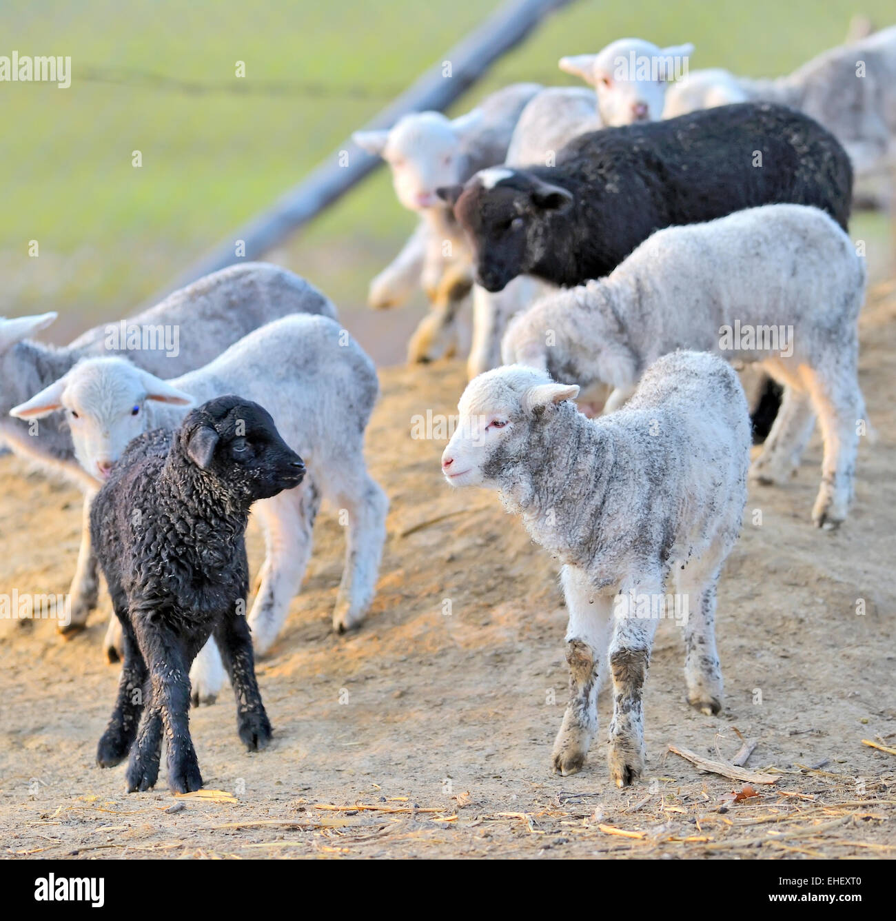 Young lambs in sping time - Stock Image