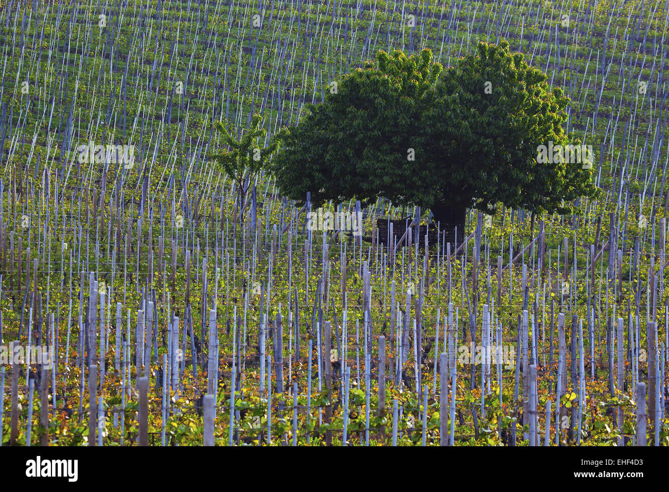 tree in vineyard, Barolo, Piedmont, Italy - Stock Image