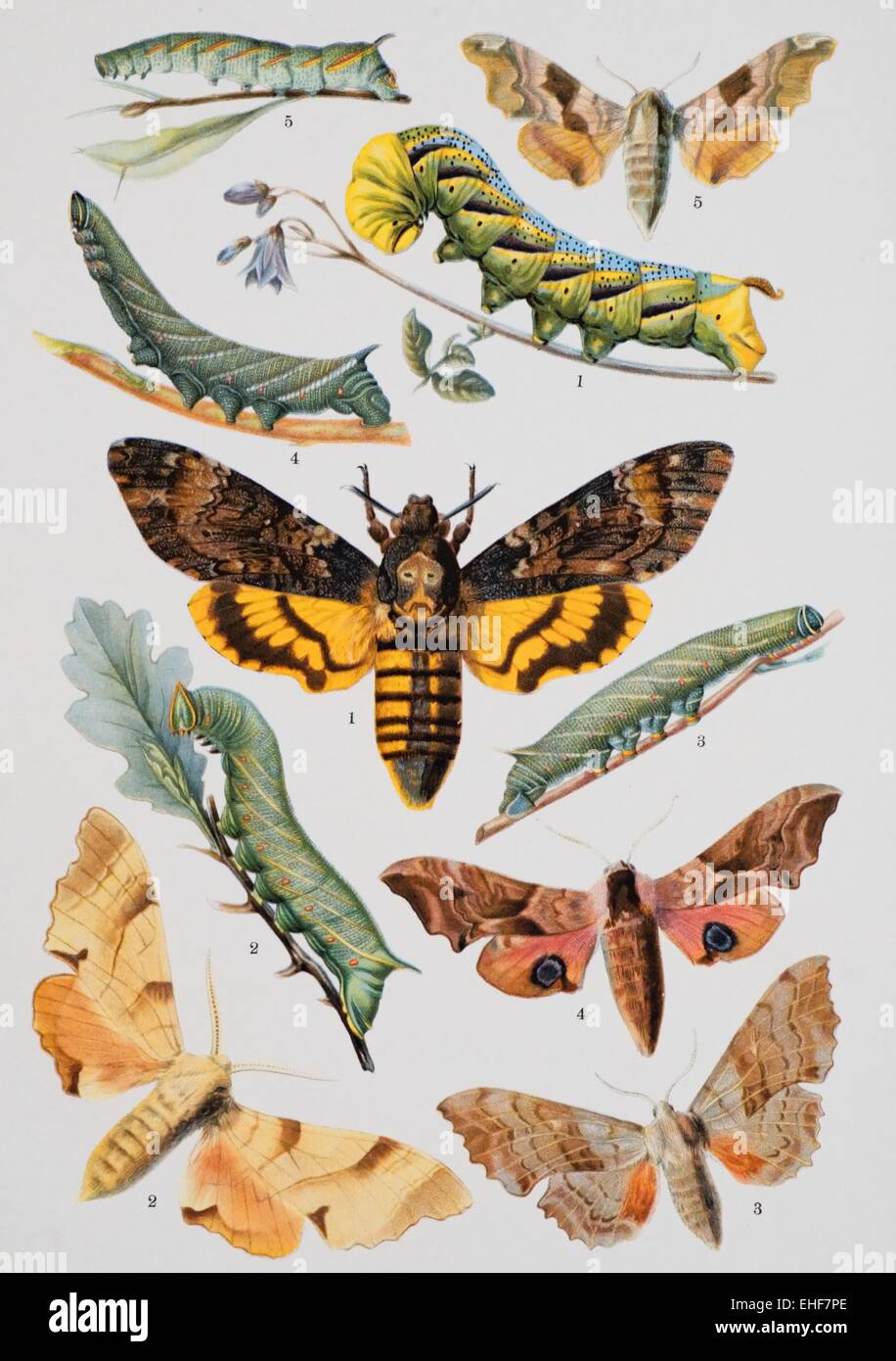 Vintage scientific illustration of butterflies and their caterpillars. Stock Photo