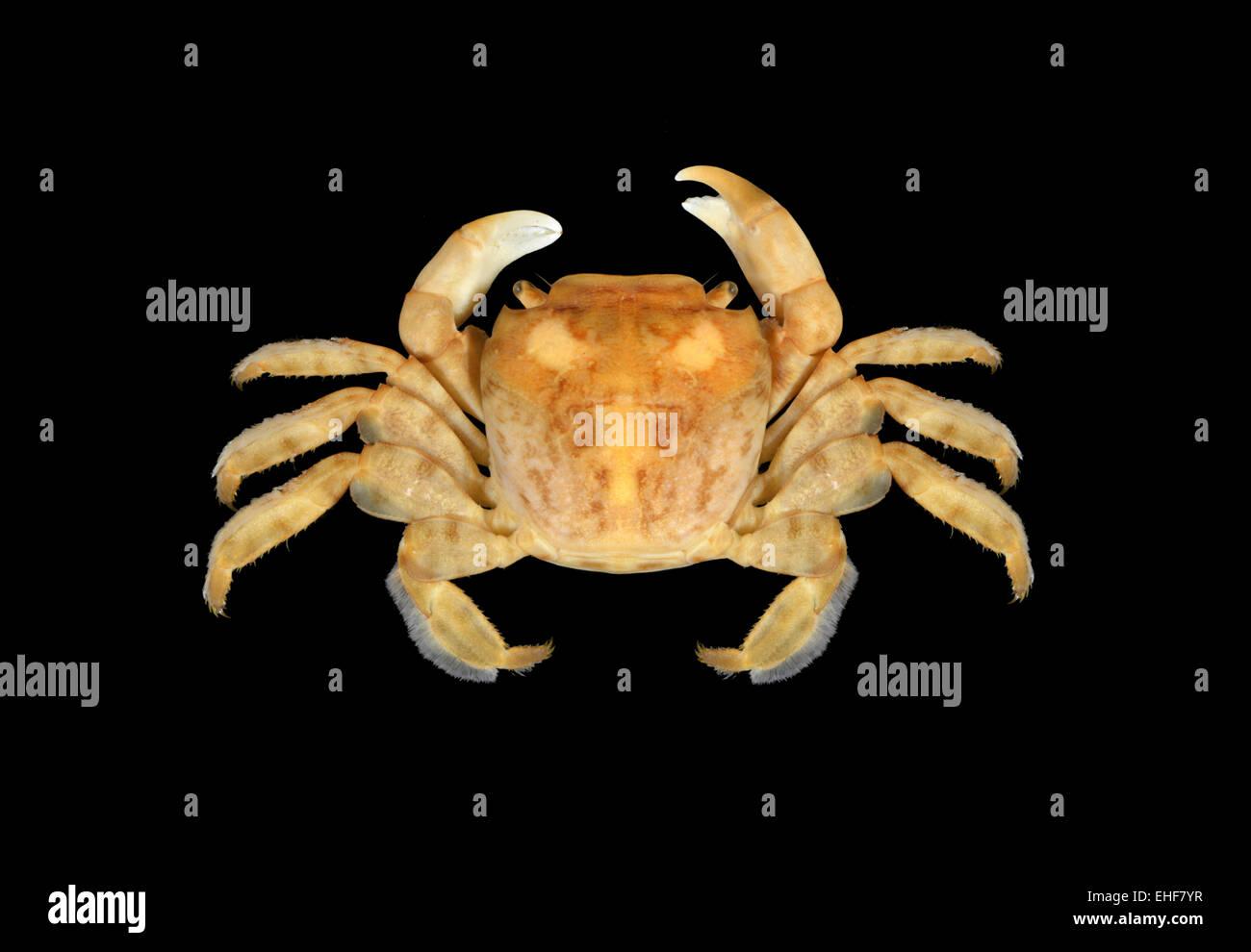Columbus Crab - Planes minutus - Stock Image