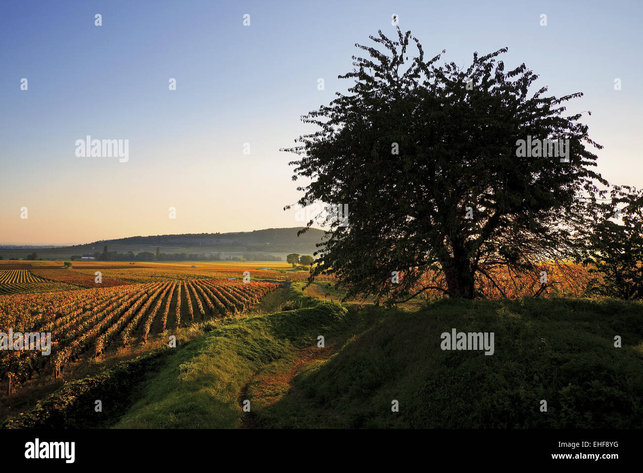 vineyards near Savigny-les-Beaune, Burgundy - Stock Image