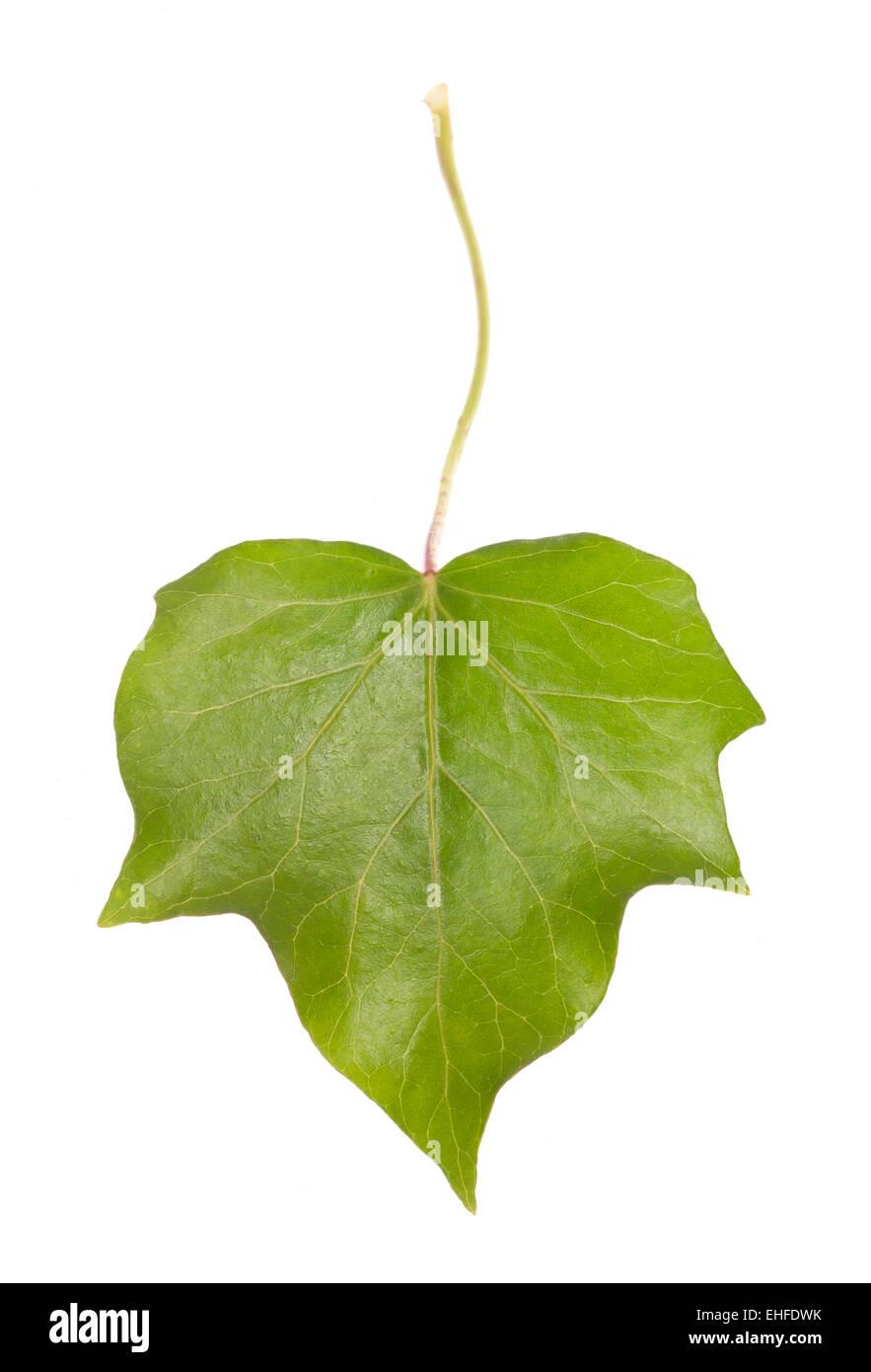 ivy leaf studio cut out - Stock Image