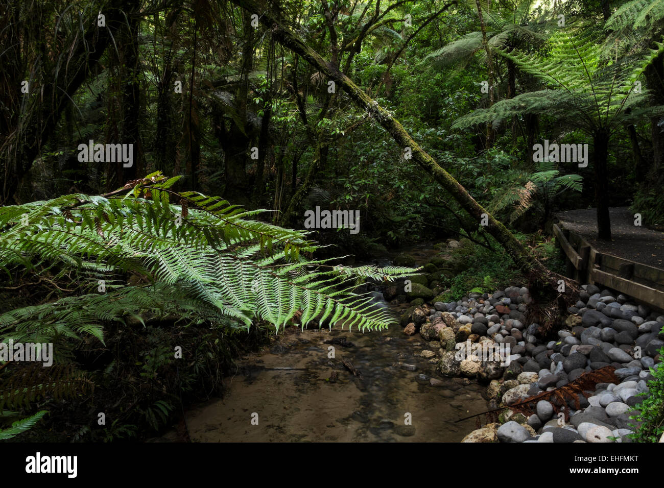 Bush walk at Mc Laren falls park in Tauranga, New Zealand. - Stock Image