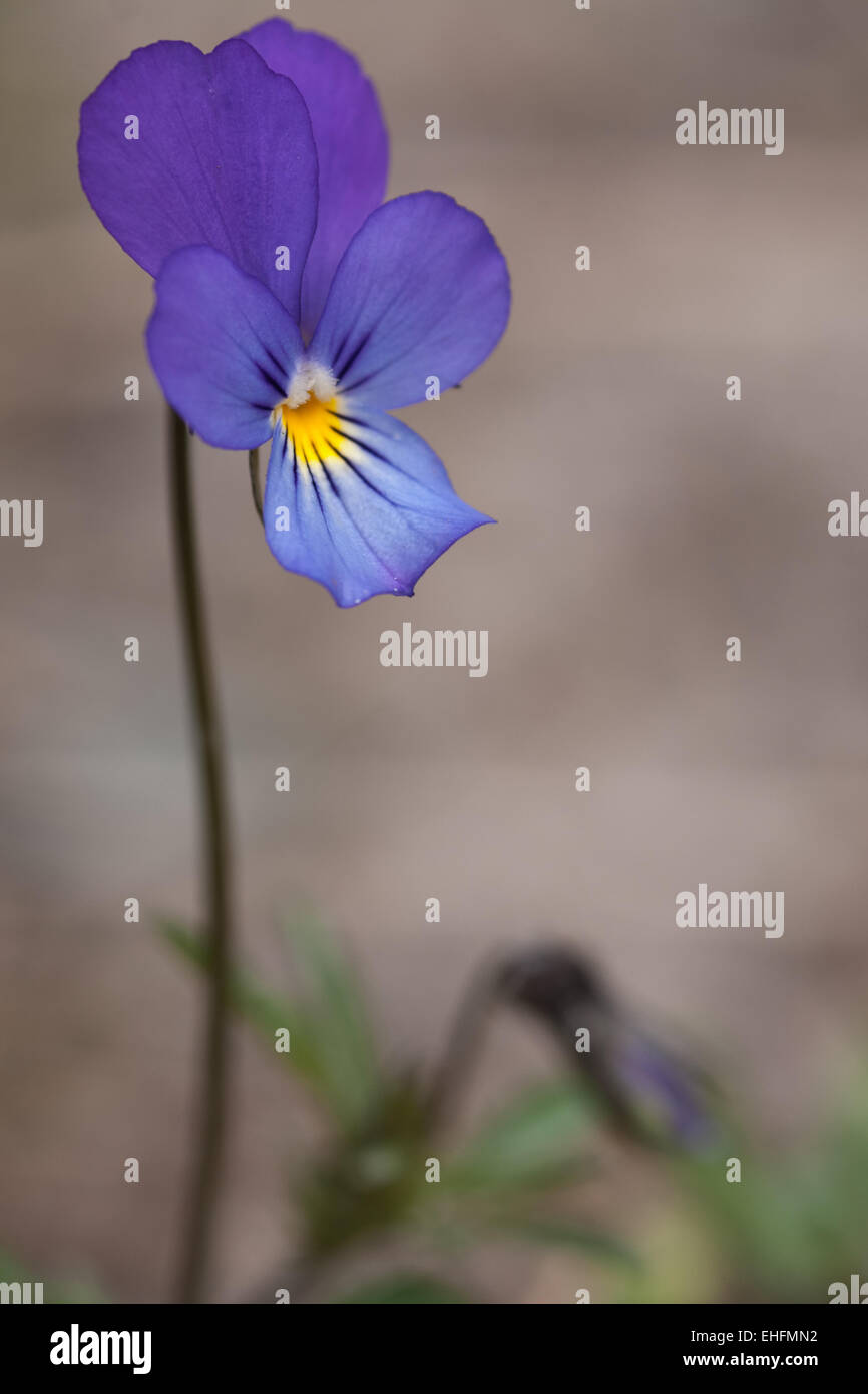 Viola tricolor, Wilde's pansy - Stock Image