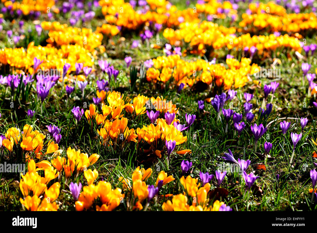 Small purple flowers with yellow centre stock photos small purple yellow and purple crocus field jane ann butler photography jabp690 stock image mightylinksfo