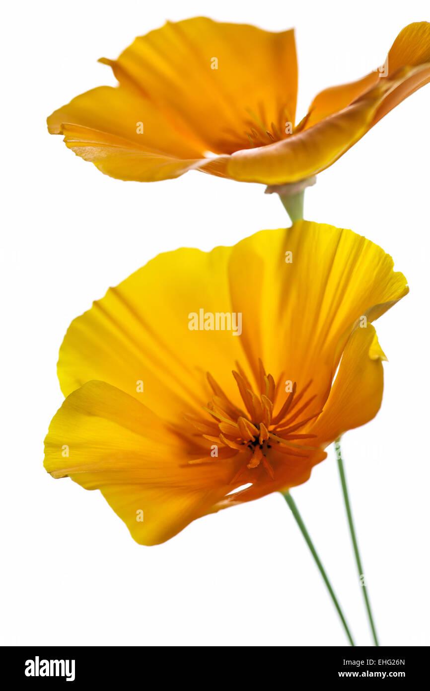 Eschscholzia californica - California Poppy flower head on white background - Stock Image