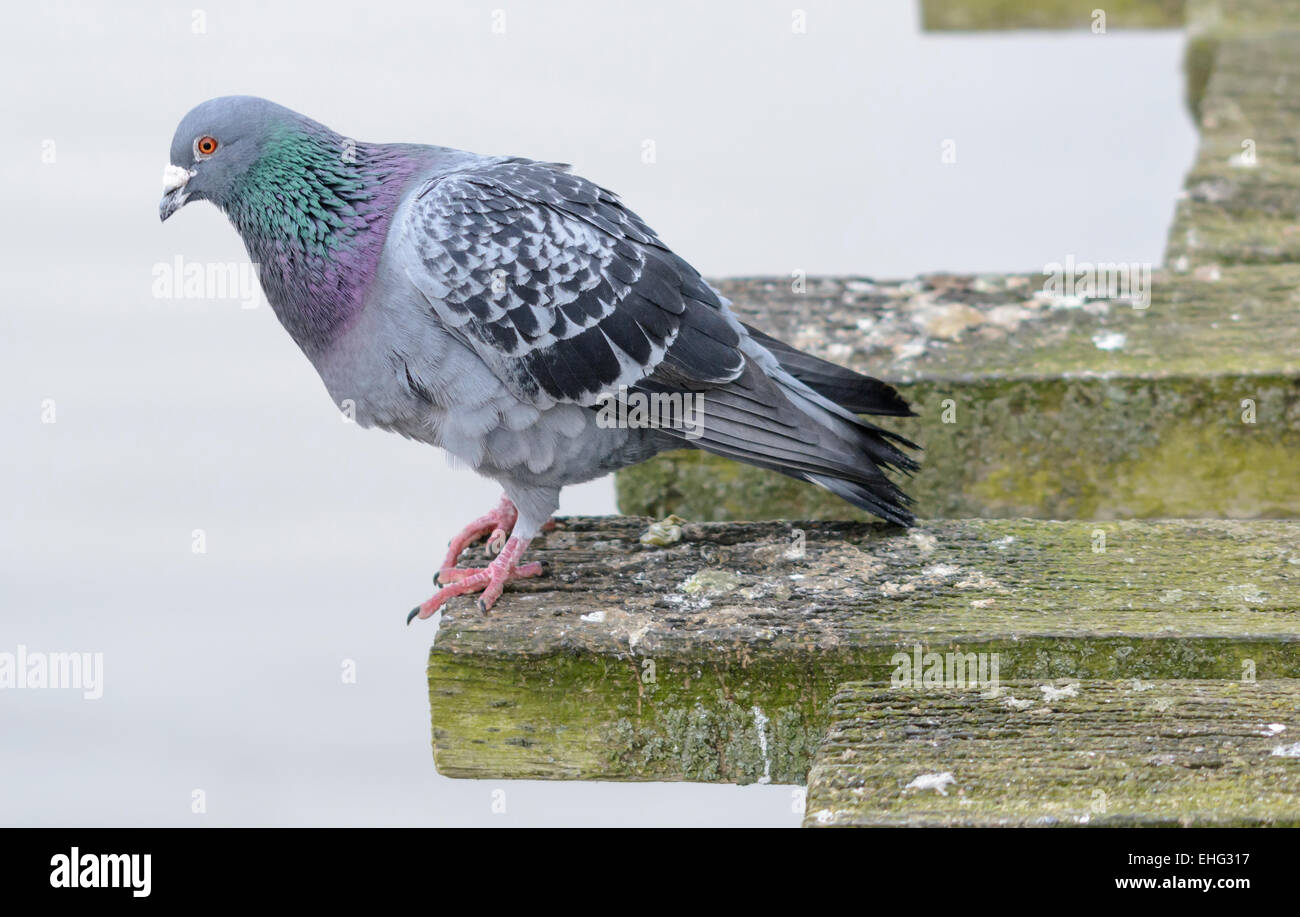 Feral Pigeon (Columba livia domestica) by the sea. AKA Town Pigeon, City Pigeon, Domestic Pigeon, City Dove, Street - Stock Image