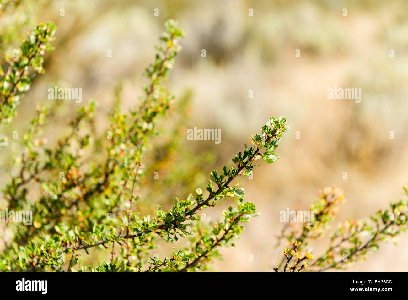 Antelope brush detail, Osoyoos Desert Centre, Osoyoos, British Columbia, Canada - Stock Image