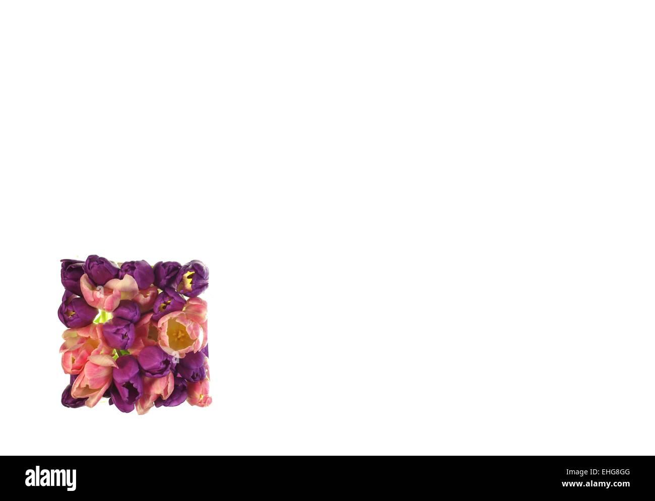tulip blossom - Stock Image