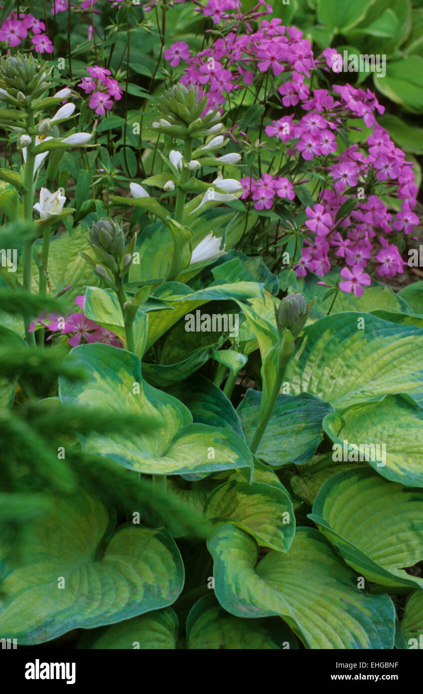 Hosta Frances Williams in bloom with Phlox - Stock Image