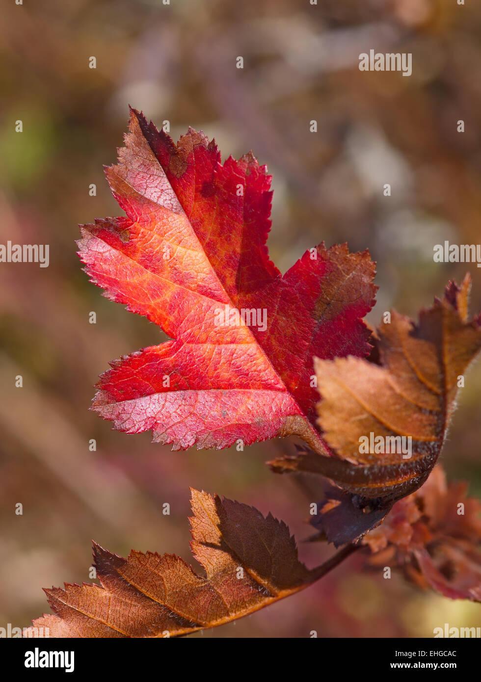 Red autumn sheet - Stock Image
