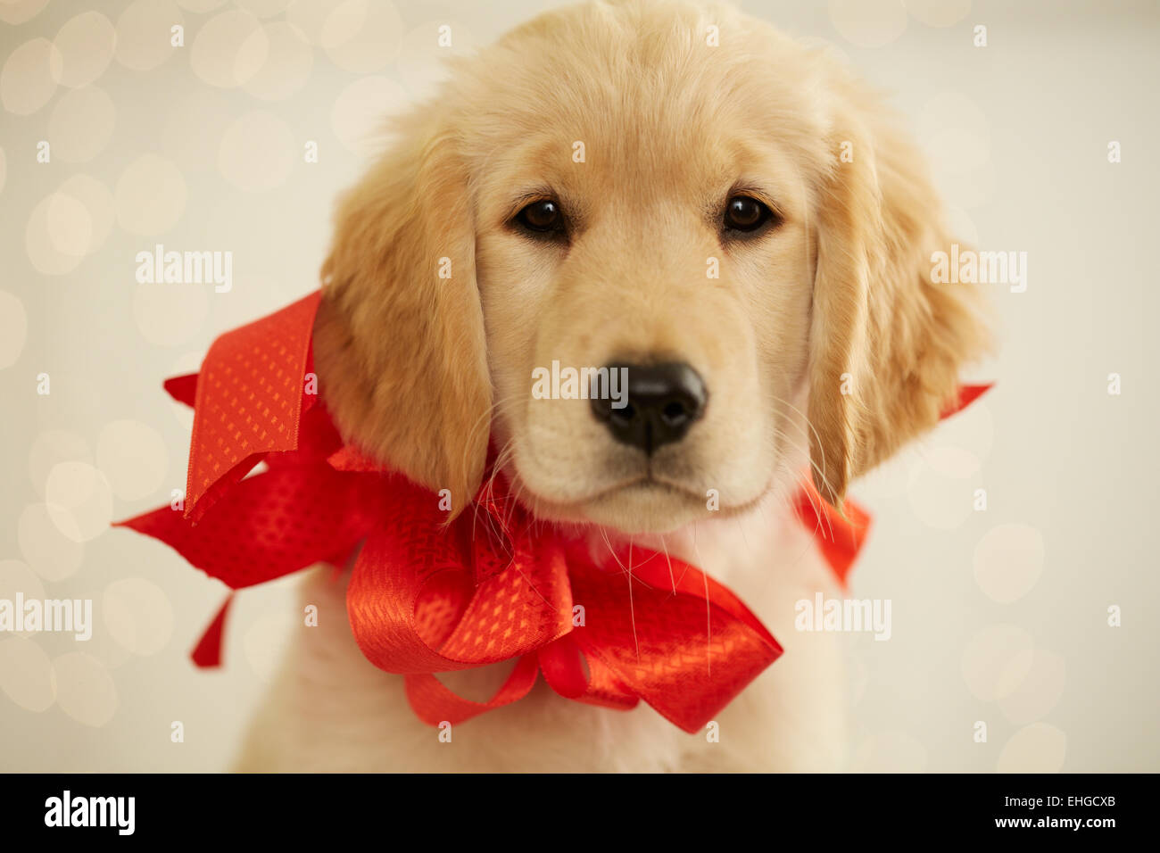 Golden Retriever Puppy With Red Bow Stock Photo 79652003 Alamy
