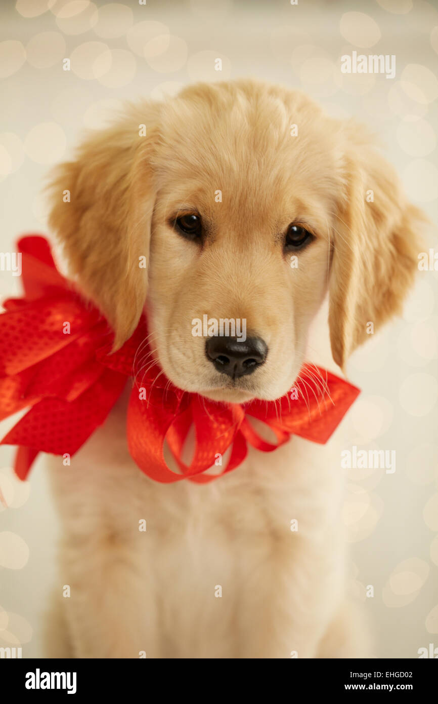 Golden Retriever Puppy With Red Bow Stock Photo 79652050 Alamy