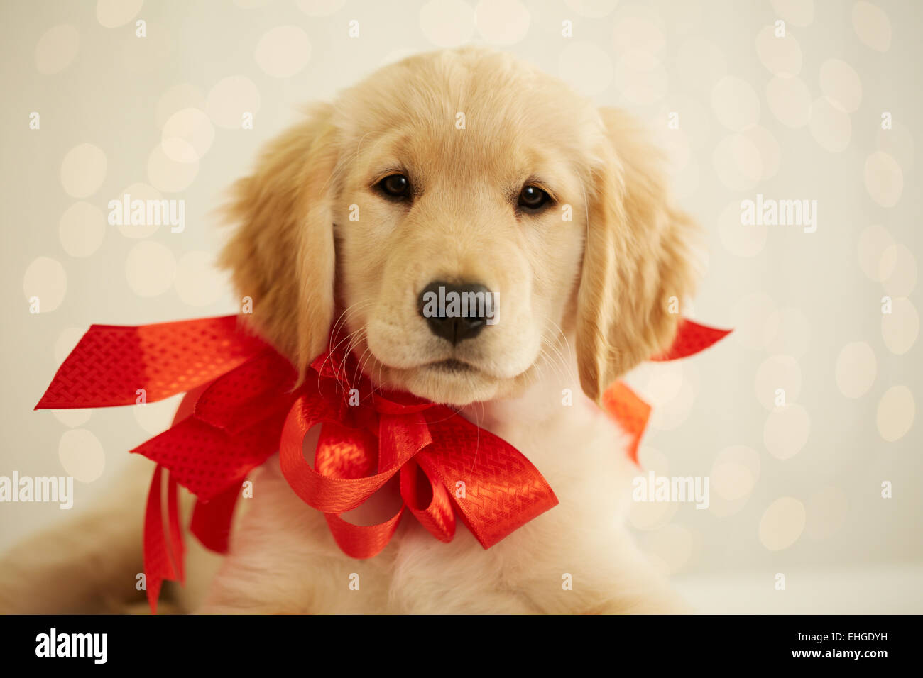 Golden Retriever Puppy With Red Bow Stock Photo 79652821 Alamy