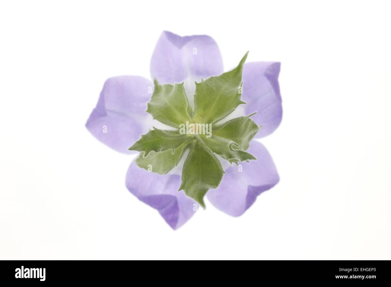 bellflower - Stock Image