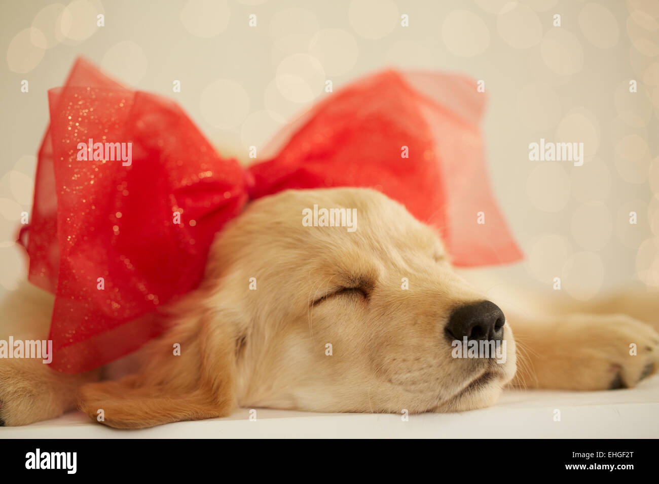Golden Retriever Puppy With Red Bow Stock Photo 79653696 Alamy