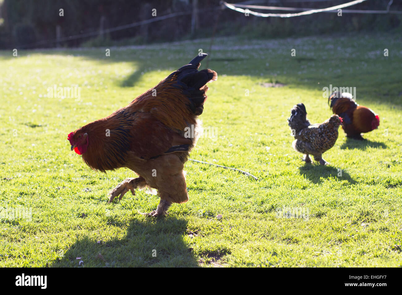 Rooster and hens. - Stock Image