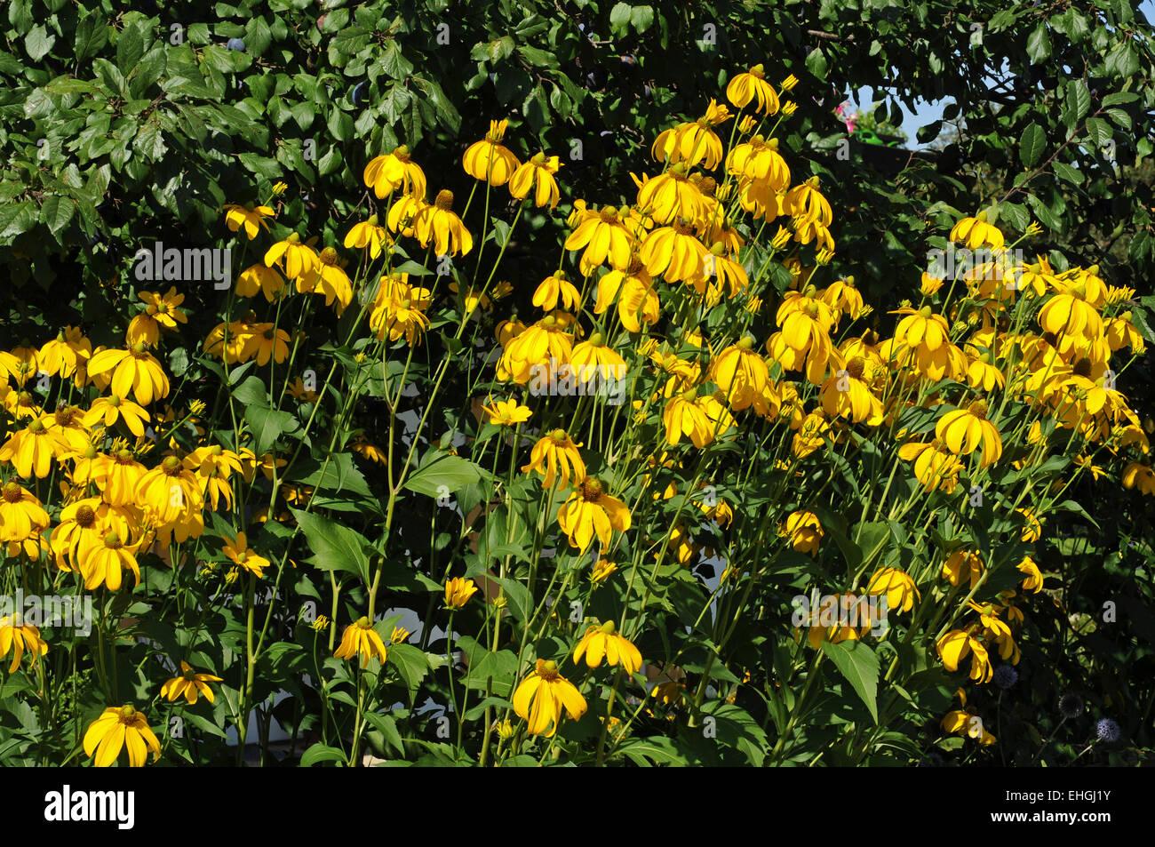 Gelber Sonnenhut / Yellow coneflower - Stock Image