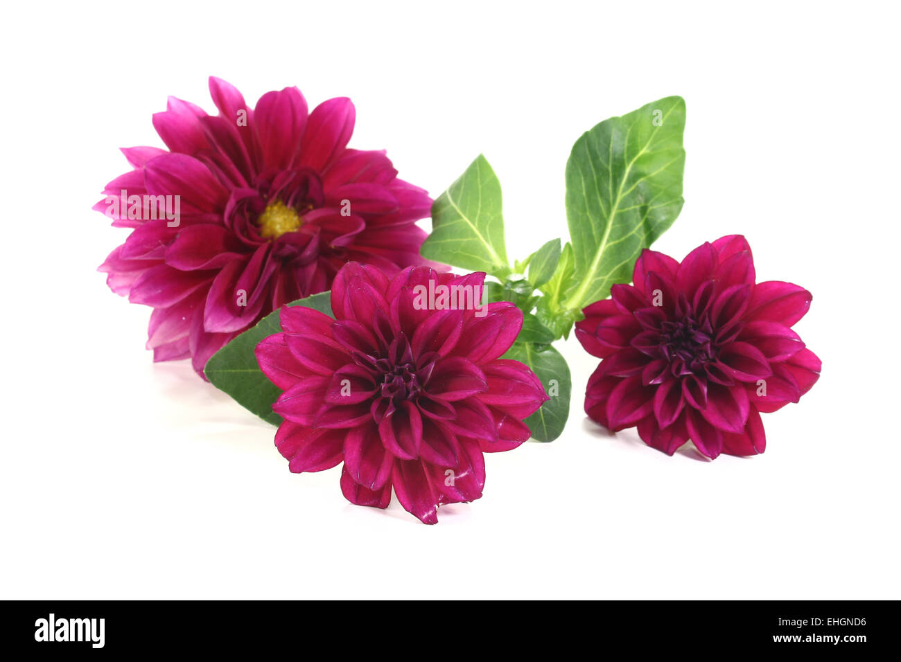little dahlia - Stock Image