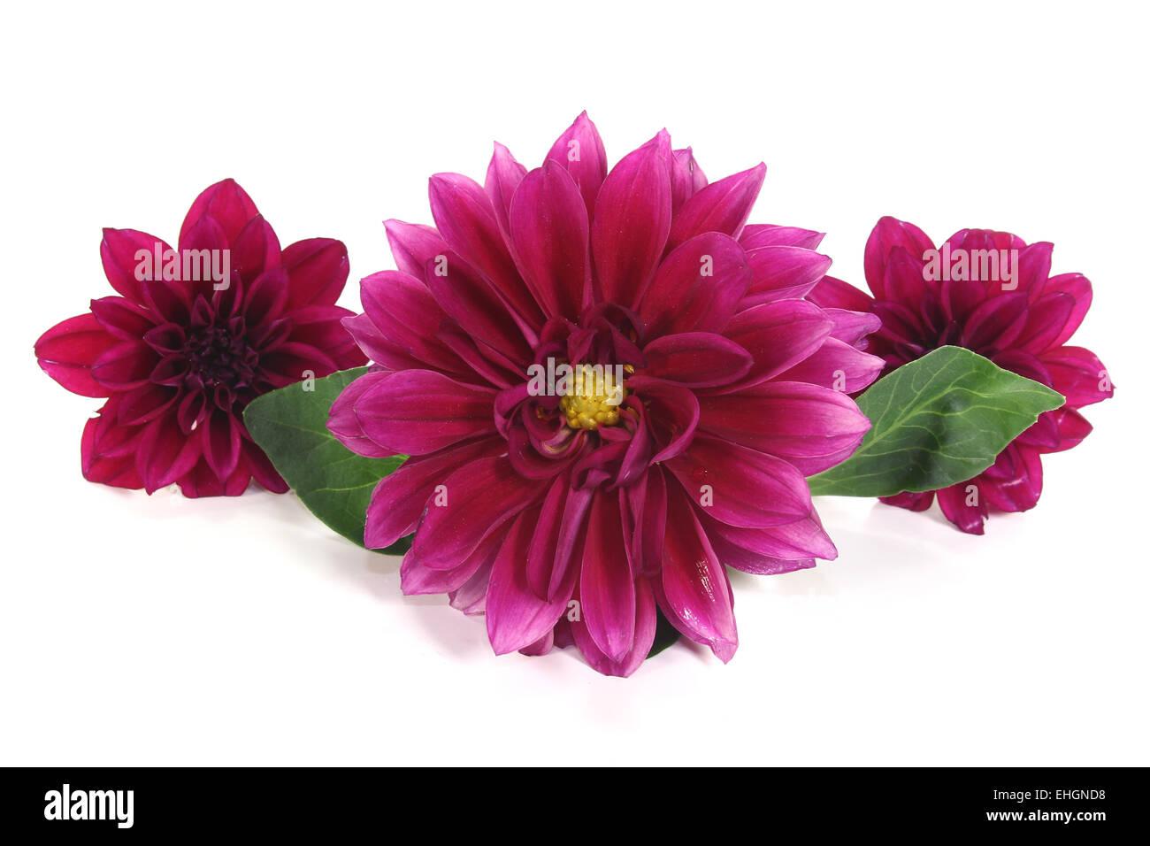 wine-red little dahlia - Stock Image