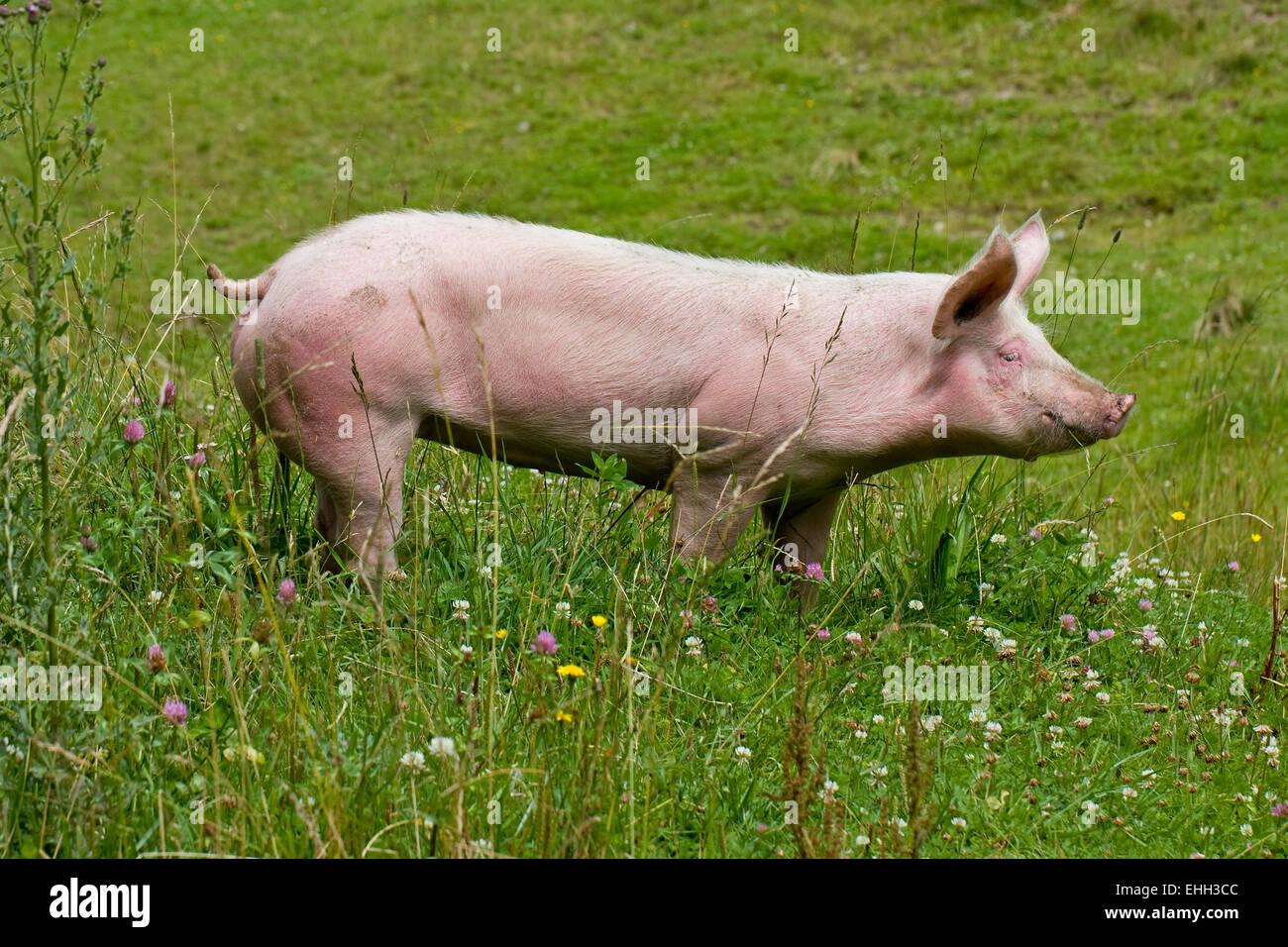 pig - Stock Image