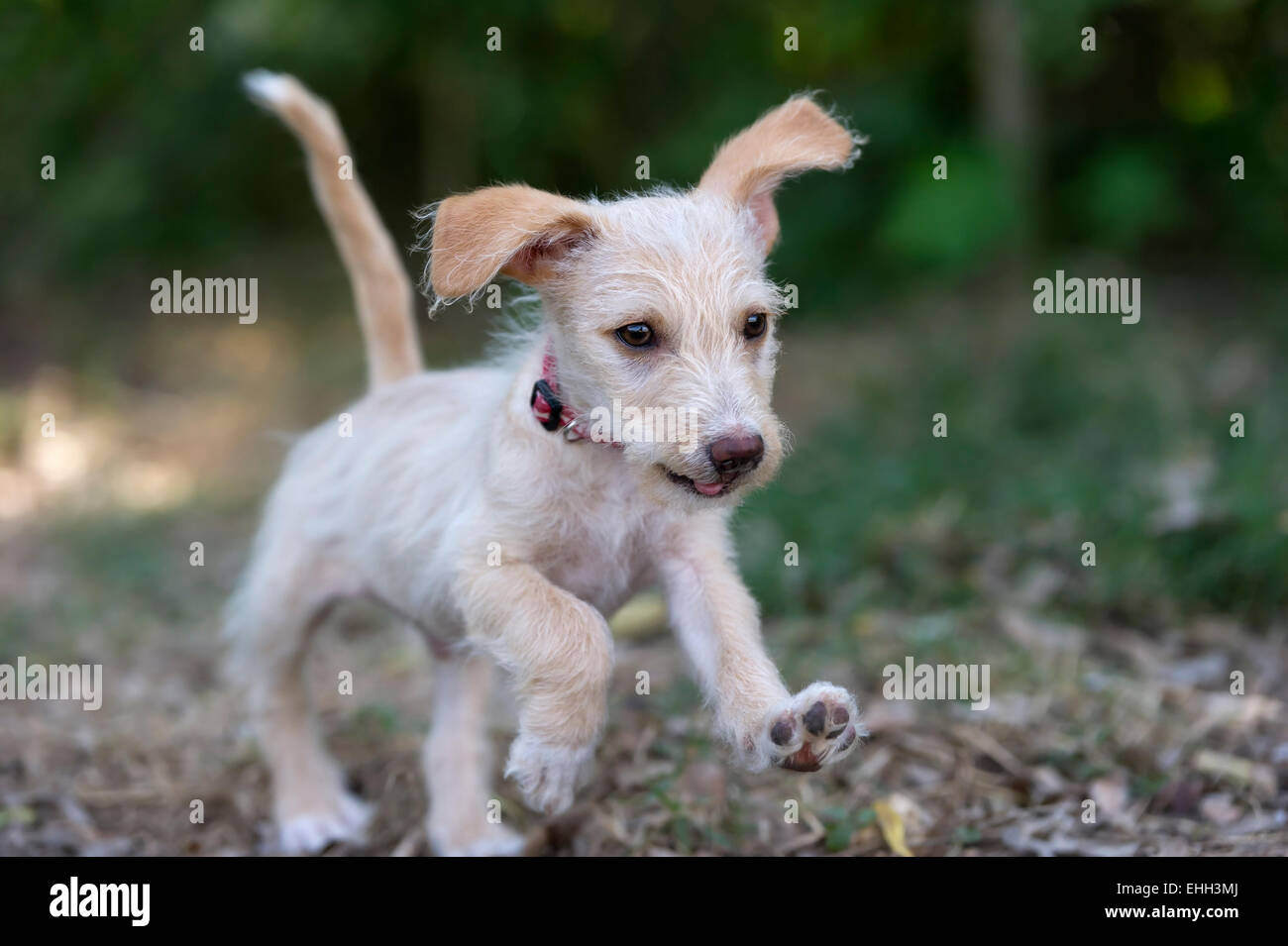 A cute playful puppy is running in the park. - Stock Image