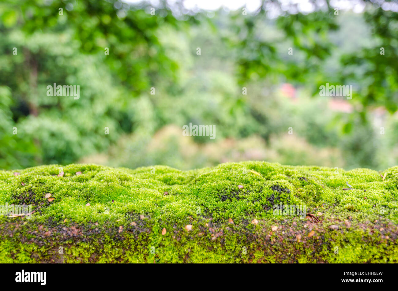 Moss, small flowerless plant that usually grow in dense green clumps or mats - Stock Image