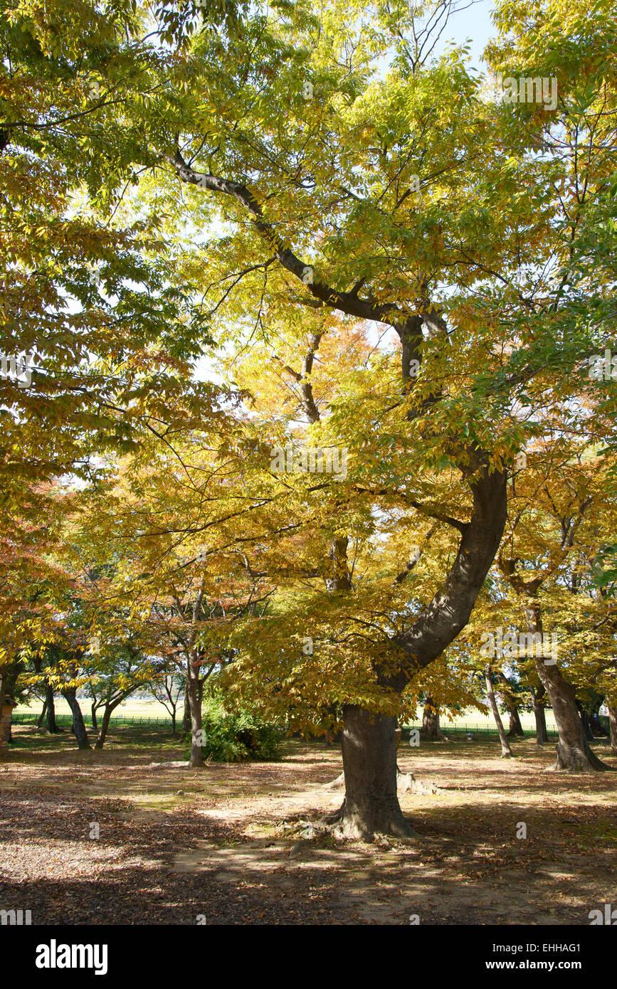 old zelkova tree in Gyerim forest, Korea - Stock Image