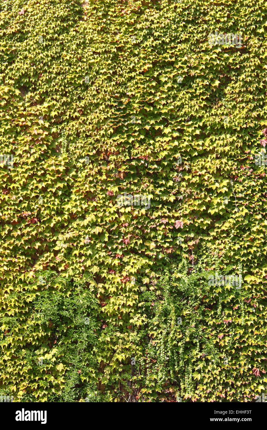 Wall Covering Plants Stock Photos & Wall Covering Plants Stock ...