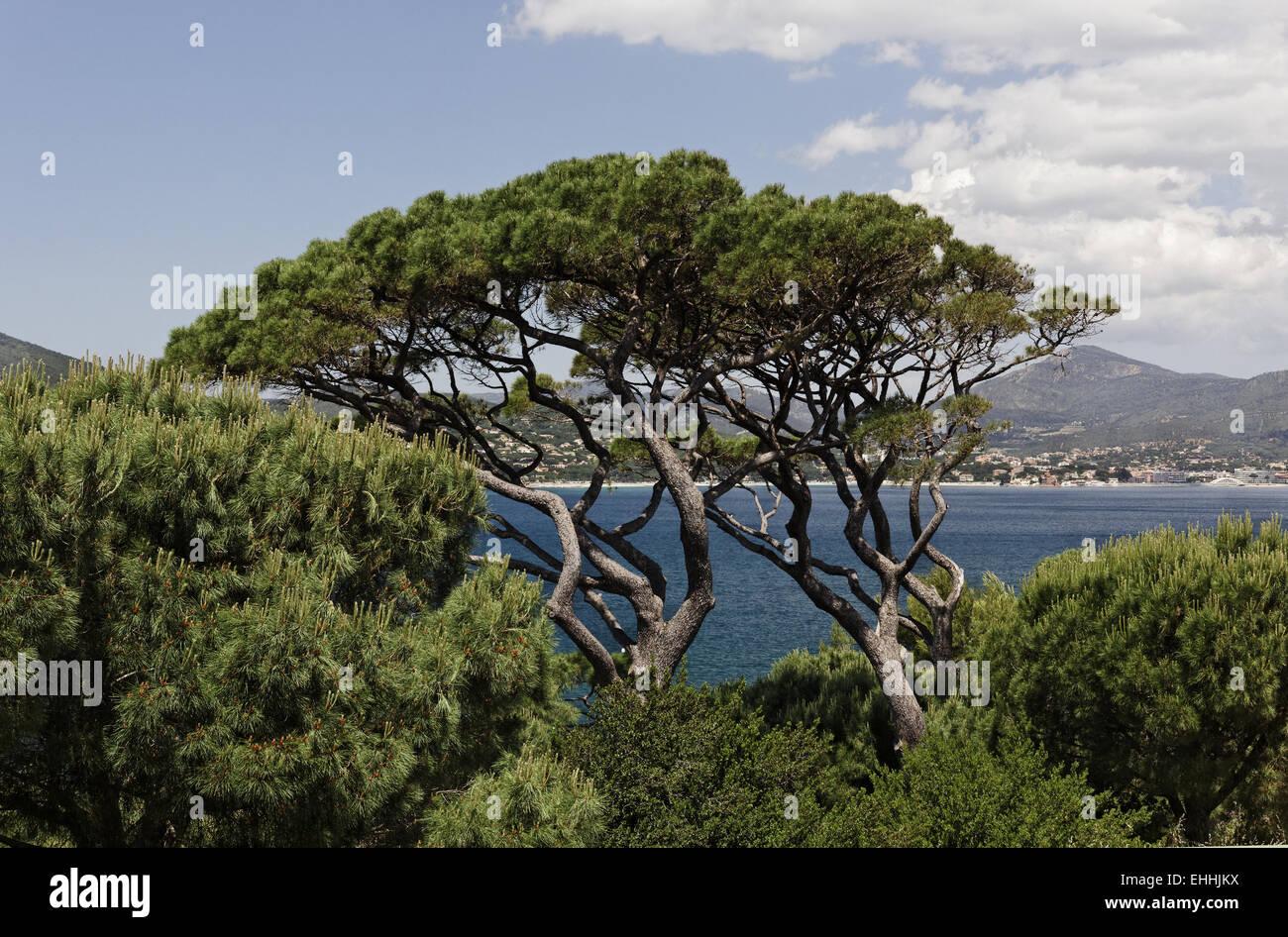 Pinus halepensis, Aleppo Pine in Saint-Tropez - Stock Image