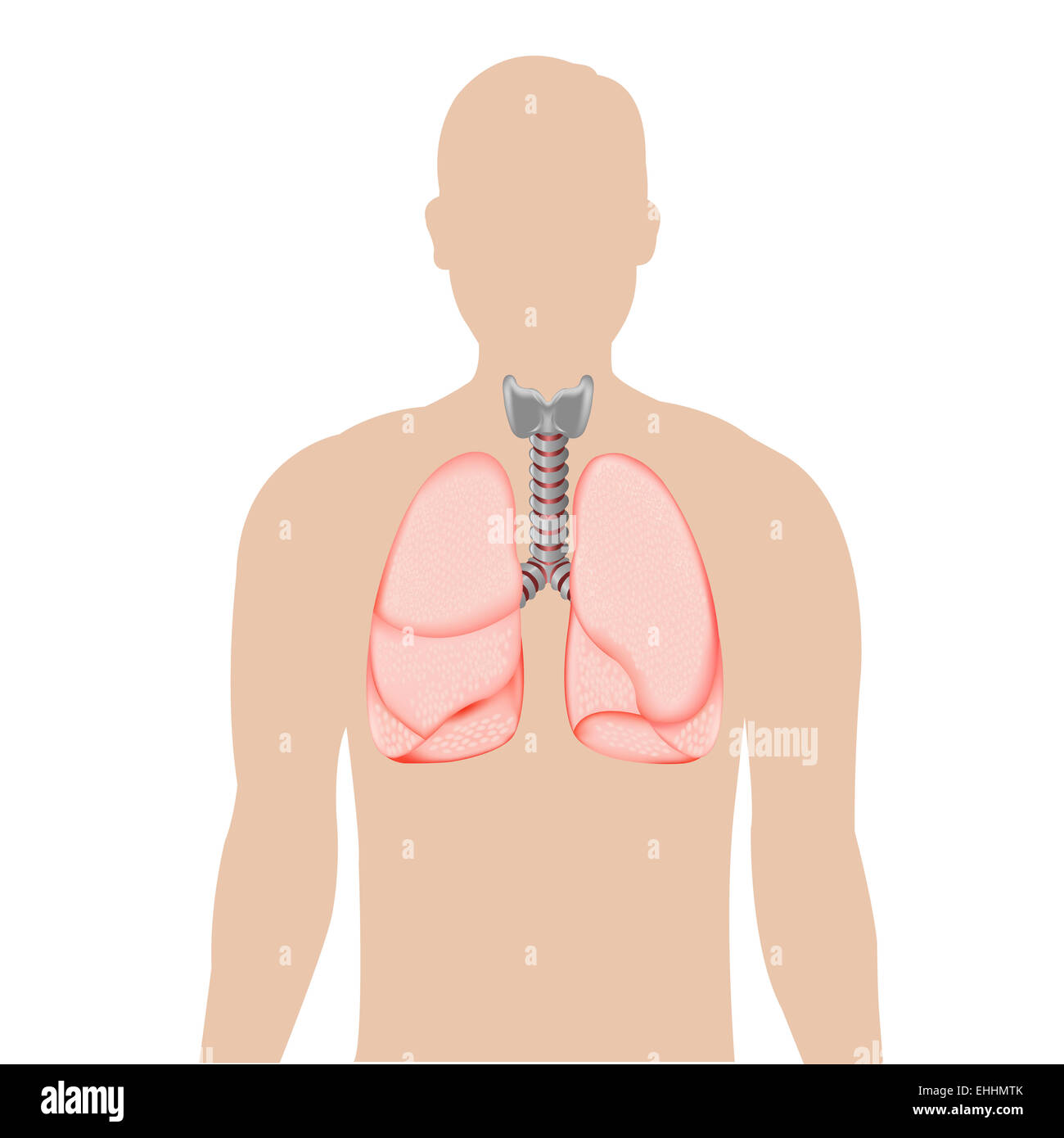 Silhouette Of Person With Lungs - Stock Image