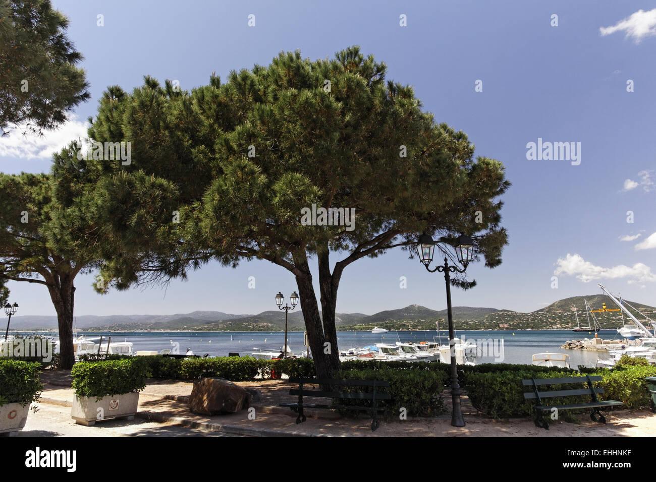 Pinus halepensis, Aleppo Pine, Jerusalem pine - Stock Image