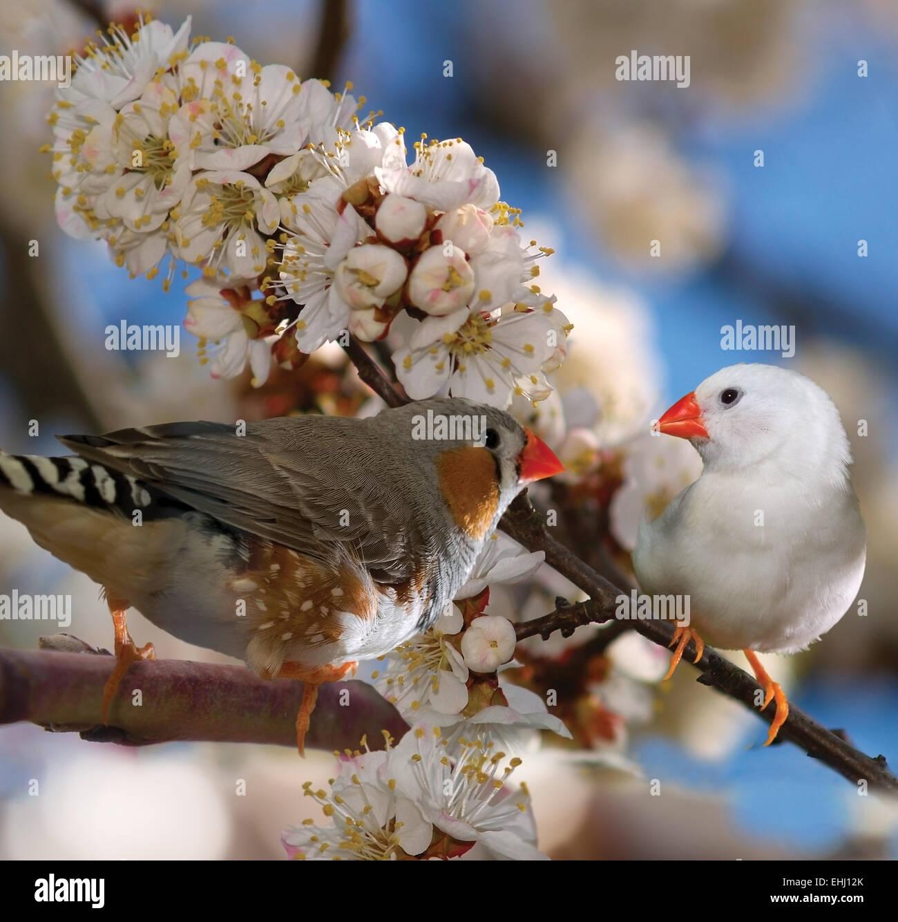 Birds finches(Taeniopugia guttata) on a blossoming branch of apricot(Armeniaca) square - Stock Image