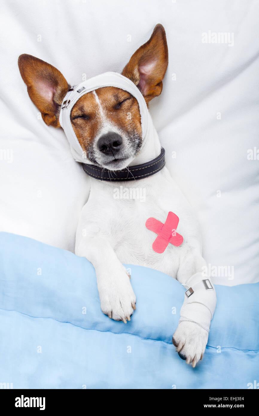 Sick dog with bandages lying on bed - Stock Image