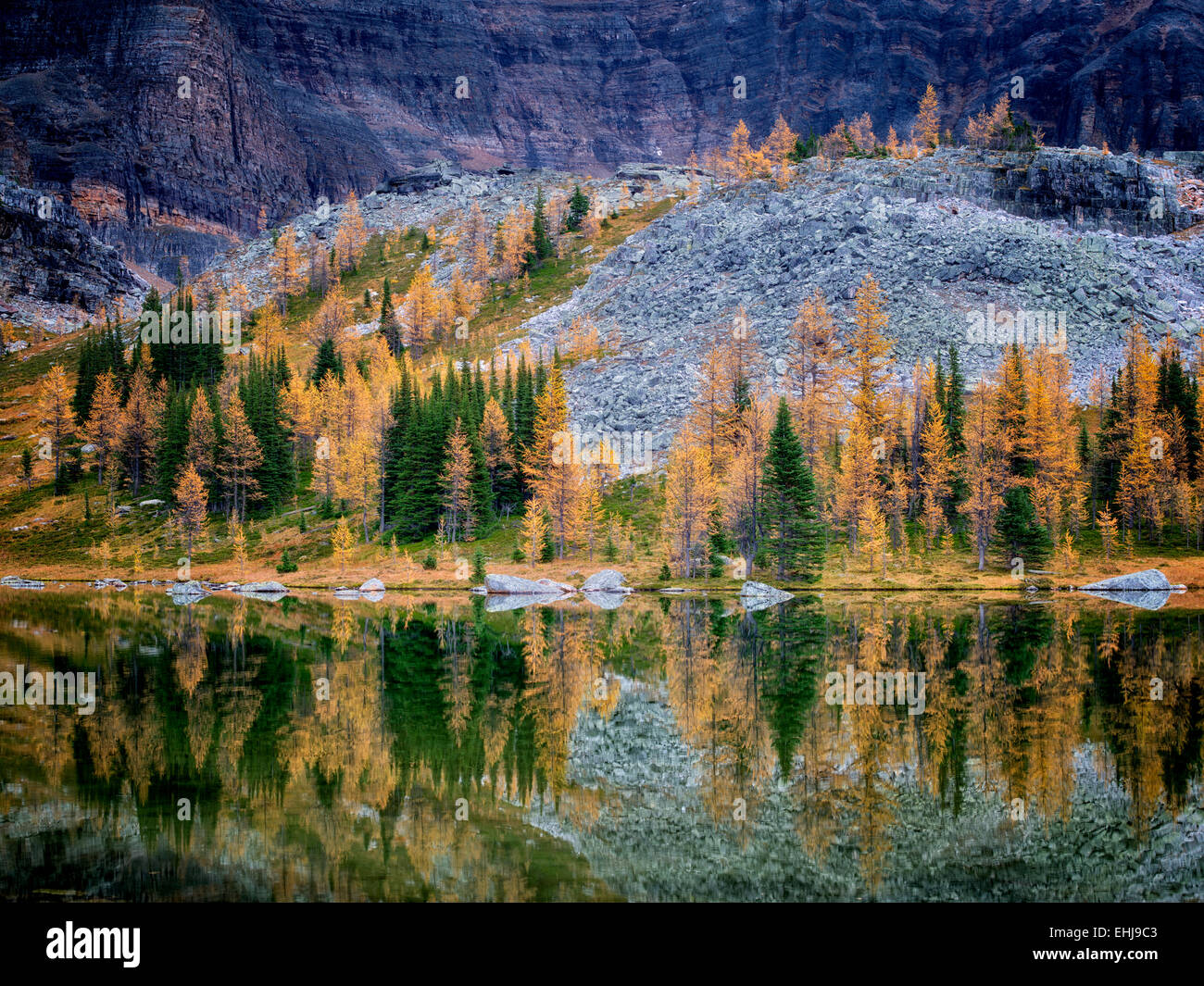 Lake reflection larch in fall color at Moor Lake and mountains. Yoho National Park, Opabin Plateau, British Columbia, - Stock Image